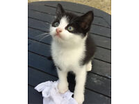Black and white kittens for sale in Hackney