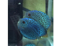 2 x Large adult Discus (Grade A) very Healthy