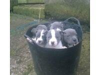 Blue Staffordshire / Staff Pups