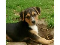 Border terrier x border collie pups
