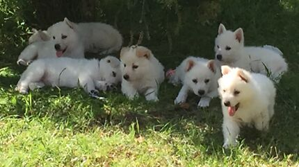 Swiss shepherd puppies  Clarence Town Dungog Area Preview