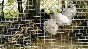 Various types of bantams Sorell Sorell Area Preview