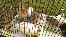 Japanese quail Frankston Frankston Area Preview