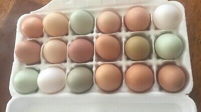 Assorted Colored Fertile Hatching Eggs 18 Extras