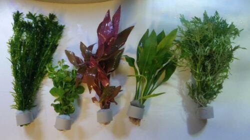 Aquariumpflanzen Set 5 XL Bunde, Aquarienpflanzen, Wasserpflanzen