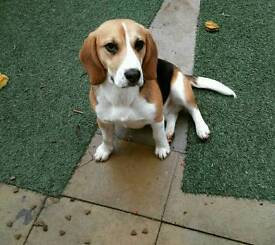 Pedigree Beagle puppy 10 months old