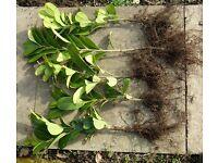 LAUREL PLANTS, PRUNUS LAUROCERASUS. BARE ROOTED EVERGREEN HEDGING, 30 - 40cm . £1 each