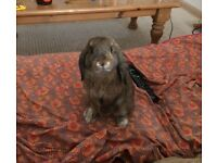 Mini Lop needs re-homing