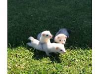 Silver ferrets