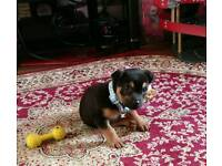 Cross Breed Puppy For Sale