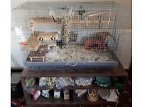 Two 1yr Old Male Degus looking for new home (cage + accessories included)