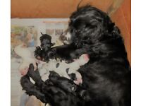 Beautiful Sprocker Puppies For Sale