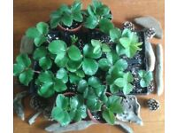Strawberry Plants.12 Plants-10.00