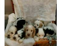 Cockapoo puppies READY for forever homes