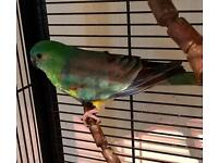 Red Rump Male Parakeet
