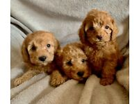 Home bred cavapoo F1b pups from health tested pare