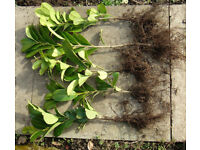 LAUREL PLANTS, BARE ROOTED EVERGREEN HEDGING, PRUNUS LAUROCERASUS 30 - 45cm . £1 each