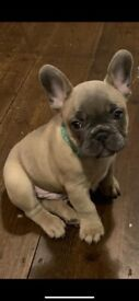 fawn French bulldog puppies ready now