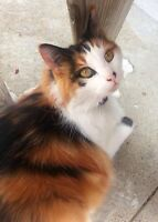 • Looking for a calico kitten!! •