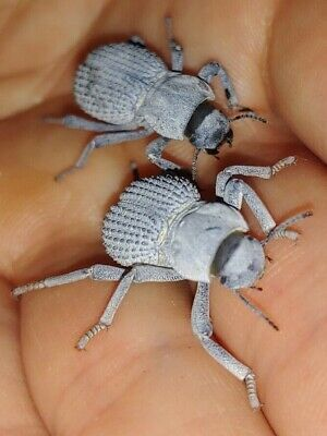 Imperfect Blue Death Feigning Beetle Asbolus verrucosus LIVE FEEDER INSECT
