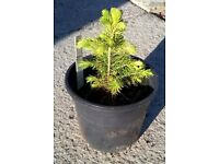 Small conifer