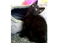 3 month old black cat (boy) not asking for money - for GOOD HOME ONLY!