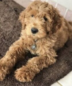 Looking for a Goldendoodle f1 or f1b