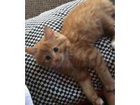 Gorgeous Ginger Kitten For Sale!!!