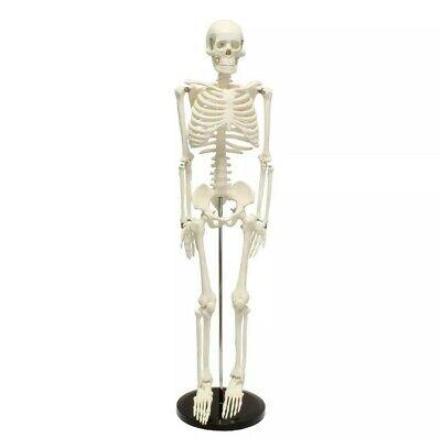 Cms-1 Medical Skeleton Model Small Human Skeleton Model For Anatomy 16.5 Inch