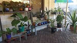 Assorted young indoor/outdoor plants ($5-$35 each) Alexander Heights Wanneroo Area Preview