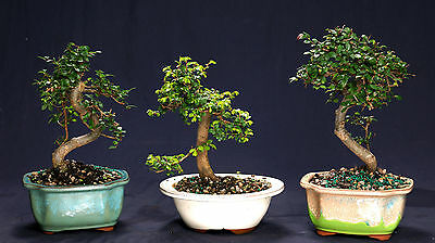 (Chinese Elm Bonsai Outdoor/Indoor Small Beginner Bonsai Tree CE9005)