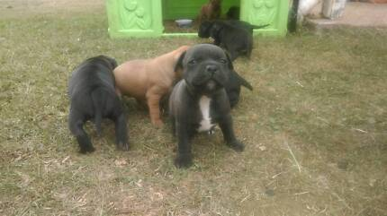 staffy pups for sale Glastonbury Gympie Area Preview