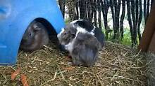 Male Abyssinian guinea pig Canley Vale Fairfield Area Preview