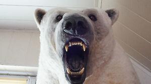 AWESOME POLAR WHITE BEAR TAXIDERMY, HANDMADE TOP QUALITY REPLICA, VERY REALISTIC