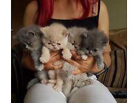 Exotic Persian Kittens