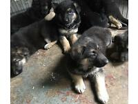 Pure German shepherd puppies for sale