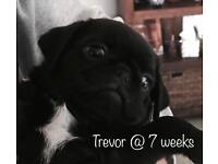 Pug Pups - Only 2 remaining
