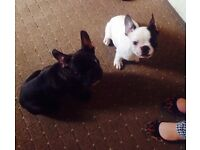 2 Beautiful French Bulldog Puppies Full Pedigree £1199
