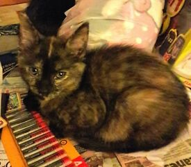 Lovely female tortoise shell kitten de flead and wormed very freindly used to kids