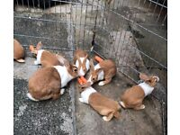 Beautiful Pure Bred Dutch Bunnies For Sale