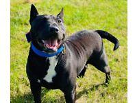 Staffordshire bull terrier x