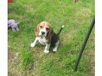 Beagle pups for sale to there forever pet home!