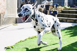 Dalmatian male pure breed Amaroo Gungahlin Area Preview