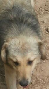 "Young Female Dog - Golden Retriever-Shepherd: ""GLORY Pending"""