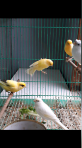 Whistling Male Canaries