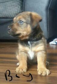 LAST 2 Patterdale x jack russell puppys