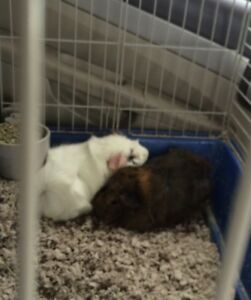 Two young female guinea pigs for sale cage included!