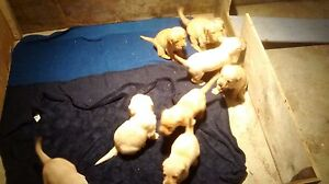 Yellow lab pups