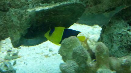 Medium Bicolour Angel Fish  Kelmscott Armadale Area Preview