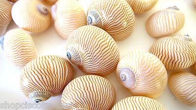 Nautica Lineata Small Size QTY - 1 PIECE Healing Seashell Sacred Shell Grids